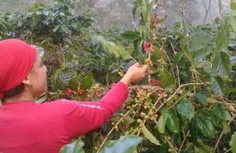 Lluvias aceleran maduración en cafetales de Yateras