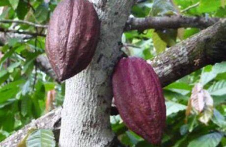 Impulsan exportación de cacao en Baracoa