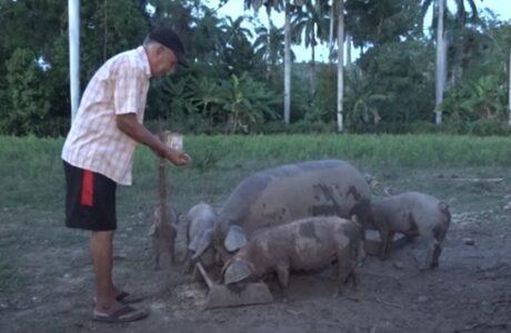 Incentivan en Baracoa crianza de cerdo criollo