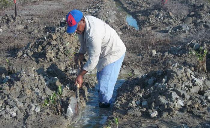 Avanza en Caimanera recuperación de manglares