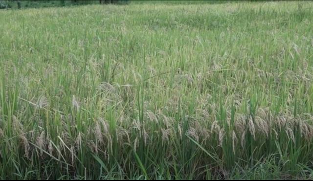Impulsan en Baracoa siembra de arroz