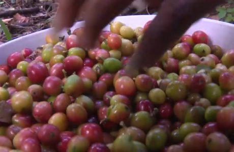 granos de café guantánamo