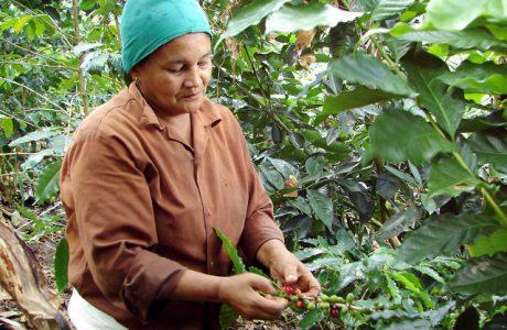 Maduración tardía afecta cosecha de café en Baracoa